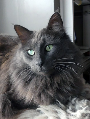 Wild Cat's Silva Tekir